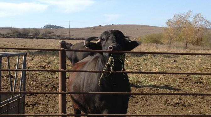 Water buffalo chewing.