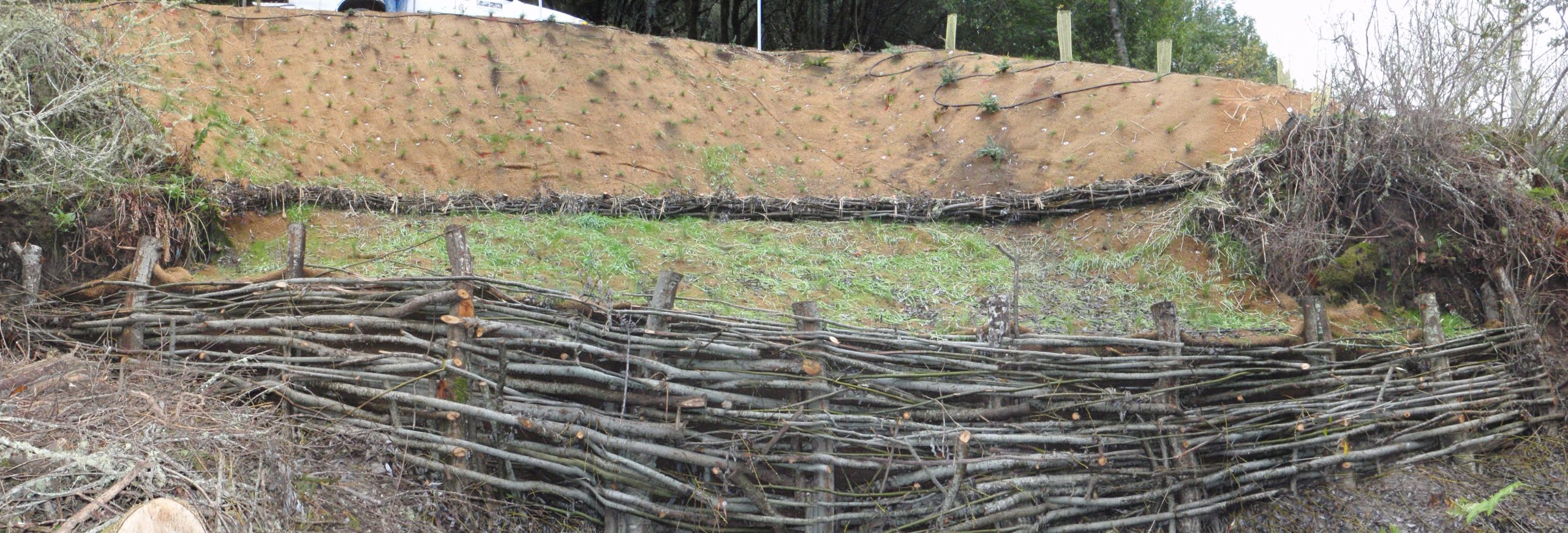 This panoramic image shows a bank which has been stabilized with a willow wall, constructed out of vertical willow stakes woven with horizontal smaller branches and twigs.
