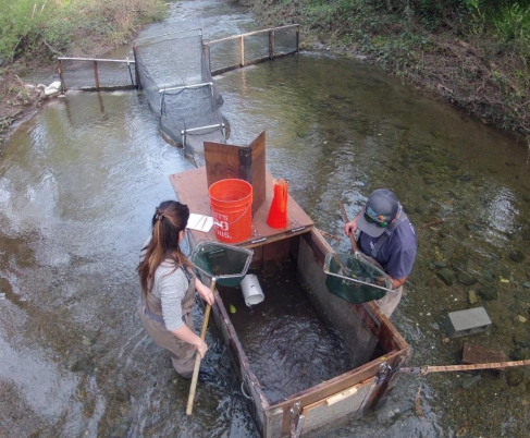 From above, a stream is shown with a fyke net trap installed. The stream is about 10 feet across. The trap works by funneling fish into a box with an open top. Two people in waders stand on either side of the box with nets, buckets, and other equipment, checking the fish.