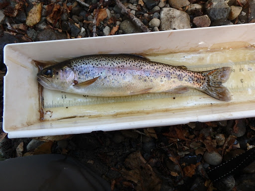 In a white plastic box with a ruler on the bottom is a 9-inch long fish. It looks about an inch thick and has a slender, ellipse-type shape. It has brown eyes with black pupils on its head, a small open mouth, a yellow/brown very triangular pectoral fin, more rounded white pelvic and anal fins, and a see-through black-spotted caudral fin with rounded edges.