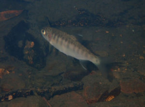 Salmon - Pine Gulch