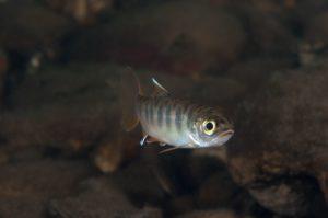 Young Coho Salmon